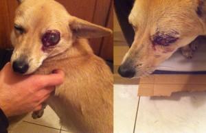 caine comunitar lovit, ochi infectat